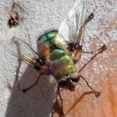 Rutilia (Chrysorutilia) formosa (A Bristle fly) at Mount Painter - 26 Nov 2019 by CathB