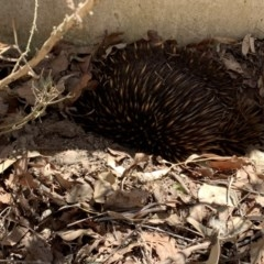 Tachyglossus aculeatus (Short-beaked Echidna) at Wolumla, NSW - 27 Nov 2019 by PatriciaDaly