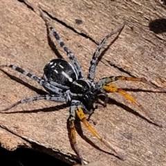 Nyssus coloripes (Spotted Ground Swift Spider) at Dunlop, ACT - 26 Nov 2019 by Kurt