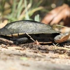 Chelodina longicollis (Eastern Long-neck Turtle) at Fyshwick, ACT - 24 Nov 2019 by Alison Milton