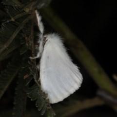 Acyphas (genus) (An Erebid moth) at Ainslie, ACT - 20 Nov 2019 by jbromilow50