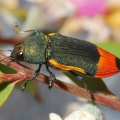 Castiarina kerremansi (A jewel beetle) at Lower Cotter Catchment - 27 Nov 2019 by Harrisi