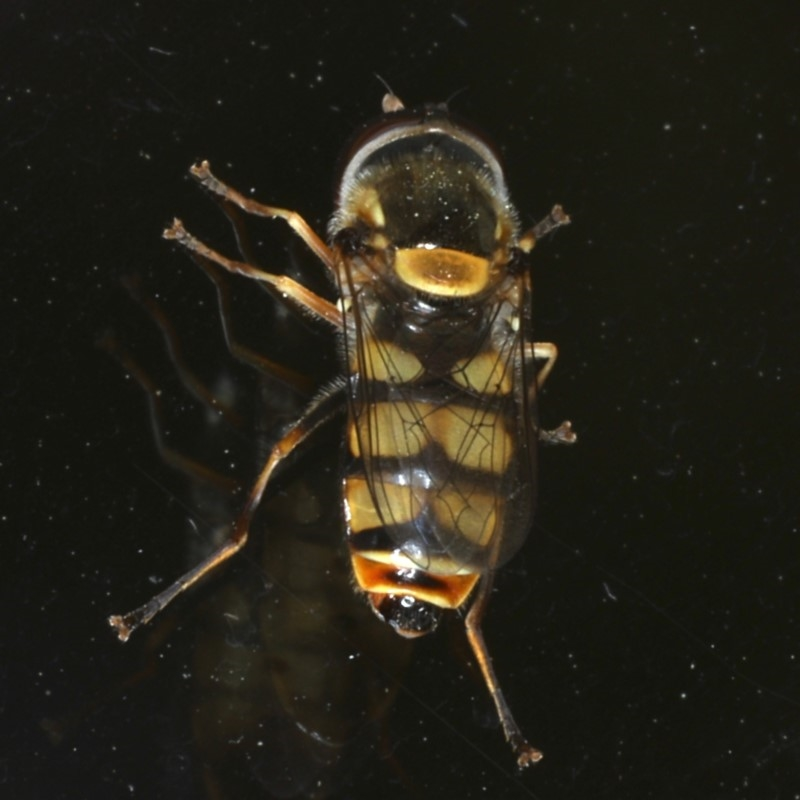 Simosyrphus grandicornis at Ainslie, ACT - 23 Oct 2019