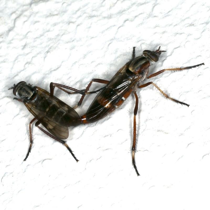 Ectinorhynchus sp. (genus) at Ainslie, ACT - 23 Oct 2019