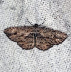 Ectropis (genus) (An engrailed moth) at O'Connor, ACT - 27 Nov 2019 by ibaird