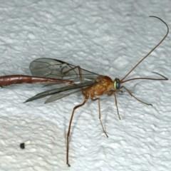 Enicospilus sp. (genus) at Ainslie, ACT - 23 Oct 2019
