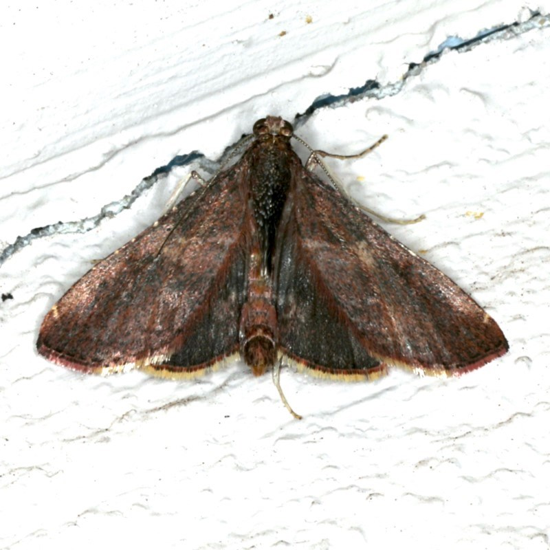 Endotricha ignealis at Ainslie, ACT - 23 Oct 2019