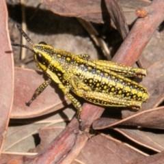 Monistria concinna (Southern Pyrgomorph, Southern Gaudy Grasshopper) at Namadgi National Park - 23 Nov 2019 by SWishart