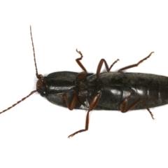 Conoderus sp. (genus) at Ainslie, ACT - 24 Oct 2019