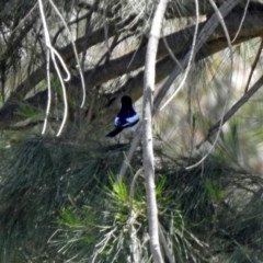 Lalage tricolor (White-winged Triller) at Jerrabomberra Wetlands - 27 Nov 2019 by RodDeb
