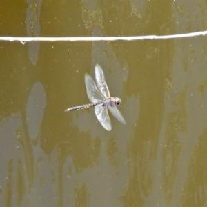 Hemicordulia tau at Jerrabomberra Wetlands - 27 Nov 2019