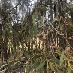Eucalyptus macrorhyncha (A Red Stringybark) at Cooleman Ridge - 23 Nov 2019 by Nat