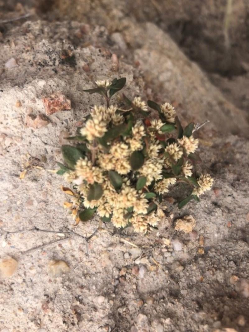 Alternanthera sp. A Flora of NSW (M. Gray 5187) J. Palmer at Cooleman Ridge - 24 Nov 2019