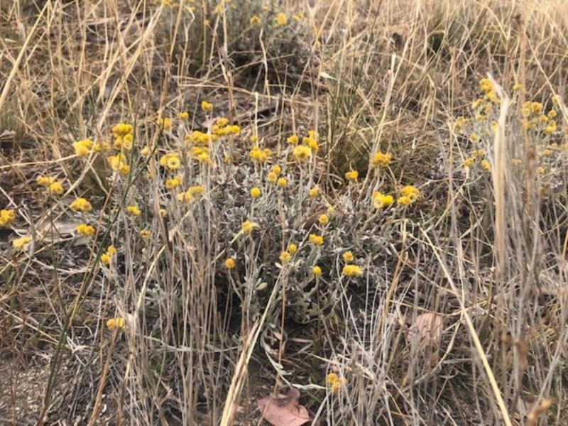 Chrysocephalum apiculatum at Cooleman Ridge - 24 Nov 2019