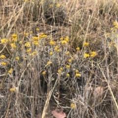 Chrysocephalum apiculatum (Common Everlasting) at Cooleman Ridge - 23 Nov 2019 by Nat