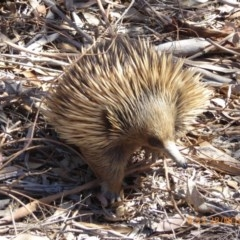 Tachyglossus aculeatus (Short-beaked Echidna) at Sth Tablelands Ecosystem Park - 27 Nov 2019 by AndyRussell