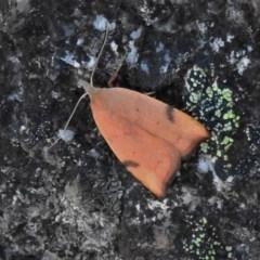 Tortricopsis uncinella (A concealer moth) at Namadgi National Park - 27 Nov 2019 by JohnBundock