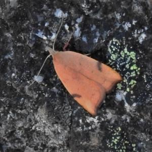 Tortricopsis uncinella at Namadgi National Park - 27 Nov 2019