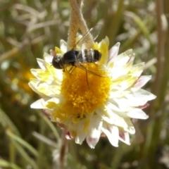 Villa sp. (genus) at Molonglo Valley, ACT - 28 Nov 2019