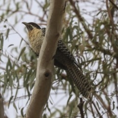 Eudynamys orientalis (Eastern Koel) at Higgins, ACT - 21 Nov 2019 by Alison Milton
