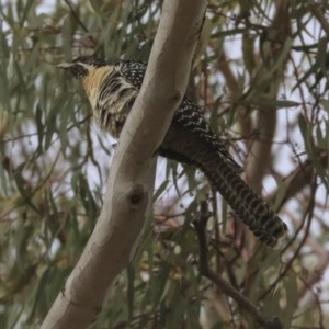 Eudynamys orientalis at Higgins, ACT - 22 Nov 2019