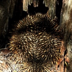 Tachyglossus aculeatus (Short-beaked Echidna) at Brogo, NSW - 22 Nov 2019 by MaxCampbell