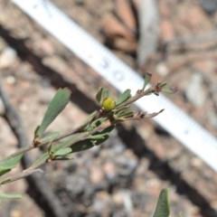 Hibbertia obtusifolia (Grey Guinea-flower) at Namadgi National Park - 28 Nov 2019 by BrianH