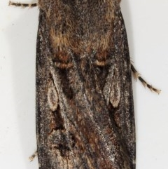 Agrotis munda (Brown Cutworm) at Kambah, ACT - 28 Nov 2019 by Marthijn