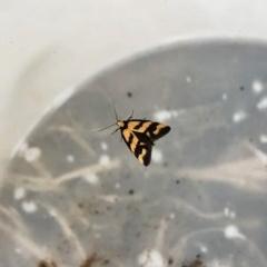 Olbonoma triptycha (Concealer moth) at Hughes Garran Woodland - 27 Nov 2019 by ruthkerruish