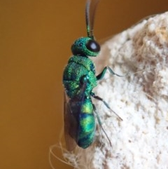 Chrysididae sp. (family) (Unidentified cuckoo wasp) at Spence, ACT - 29 Nov 2019 by Laserchemisty