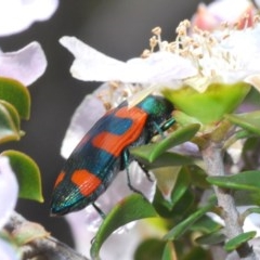 Castiarina klugii (Jewel beetle) at Jerrawangala National Park - 23 Nov 2019 by Harrisi