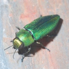 Melobasis sp. (Jewel Beetle) at Jerrawangala National Park - 23 Nov 2019 by Harrisi