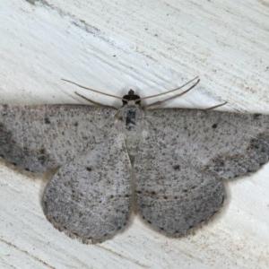 Taxeotis intextata at Ainslie, ACT - 28 Nov 2019