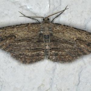 Ectropis (genus) at Ainslie, ACT - 28 Nov 2019