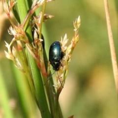 Altica sp. (genus) (Flea beetle) at Acton, ACT - 28 Nov 2019 by RodDeb