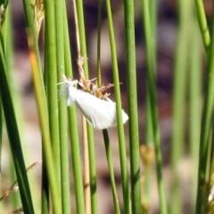 Tipanaea patulella (Grass Moth) at Acton, ACT - 28 Nov 2019 by RodDeb