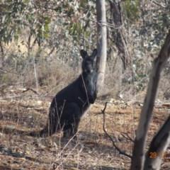 Macropus robustus (Wallaroo) at Red Hill Nature Reserve - 28 Nov 2019 by TomT
