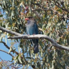 Eurystomus orientalis (Dollarbird) at Federal Golf Course - 28 Nov 2019 by TomT