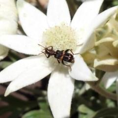 Eleale pulchra (Clerid beetle) at ANBG - 29 Nov 2019 by RodDeb