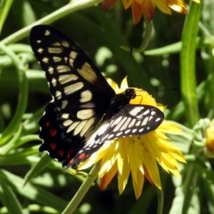 Papilio anactus at ANBG - 29 Nov 2019