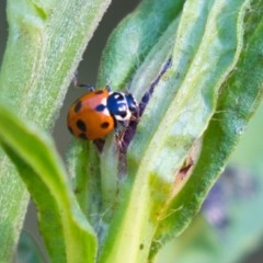 Hippodamia variegata (Spotted Amber Ladybird) at ANBG - 29 Nov 2019 by AlisonMilton