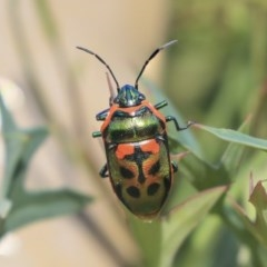 Scutiphora pedicellata (Metallic Jewel Bug) at ANBG - 29 Nov 2019 by AlisonMilton