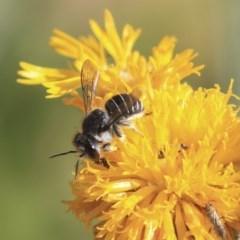 Pseudoanthidium (Immanthidium) repetitum (African carder bee, Megachild bee) at Acton, ACT - 29 Nov 2019 by AlisonMilton
