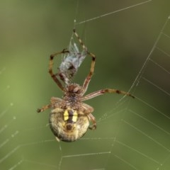 Araneus hamiltoni (Hamilton's Orb Weaver) at Higgins, ACT - 28 Nov 2019 by AlisonMilton