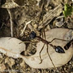 Myrmecia nigriceps (Black-headed bull ant) at Red Hill Nature Reserve - 23 Nov 2019 by BIrdsinCanberra