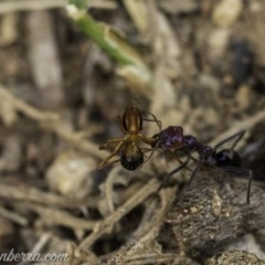 Iridomyrmex purpureus (Meat Ant) at Red Hill Nature Reserve - 23 Nov 2019 by BIrdsinCanberra