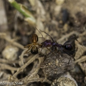 Iridomyrmex purpureus at Red Hill Nature Reserve - 24 Nov 2019