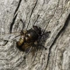 Rutilia sp. (genus) (A Rutilia bristle fly, subgenus unknown) at Red Hill Nature Reserve - 23 Nov 2019 by BIrdsinCanberra