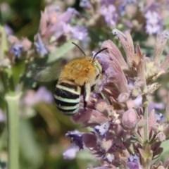 Amegilla sp. (genus) (Blue Banded Bee) at Spence, ACT - 30 Nov 2019 by Laserchemisty