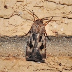 Agrotis munda (Brown Cutworm) at Wanniassa, ACT - 30 Nov 2019 by JohnBundock